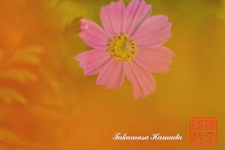 我が家の秋桜-2